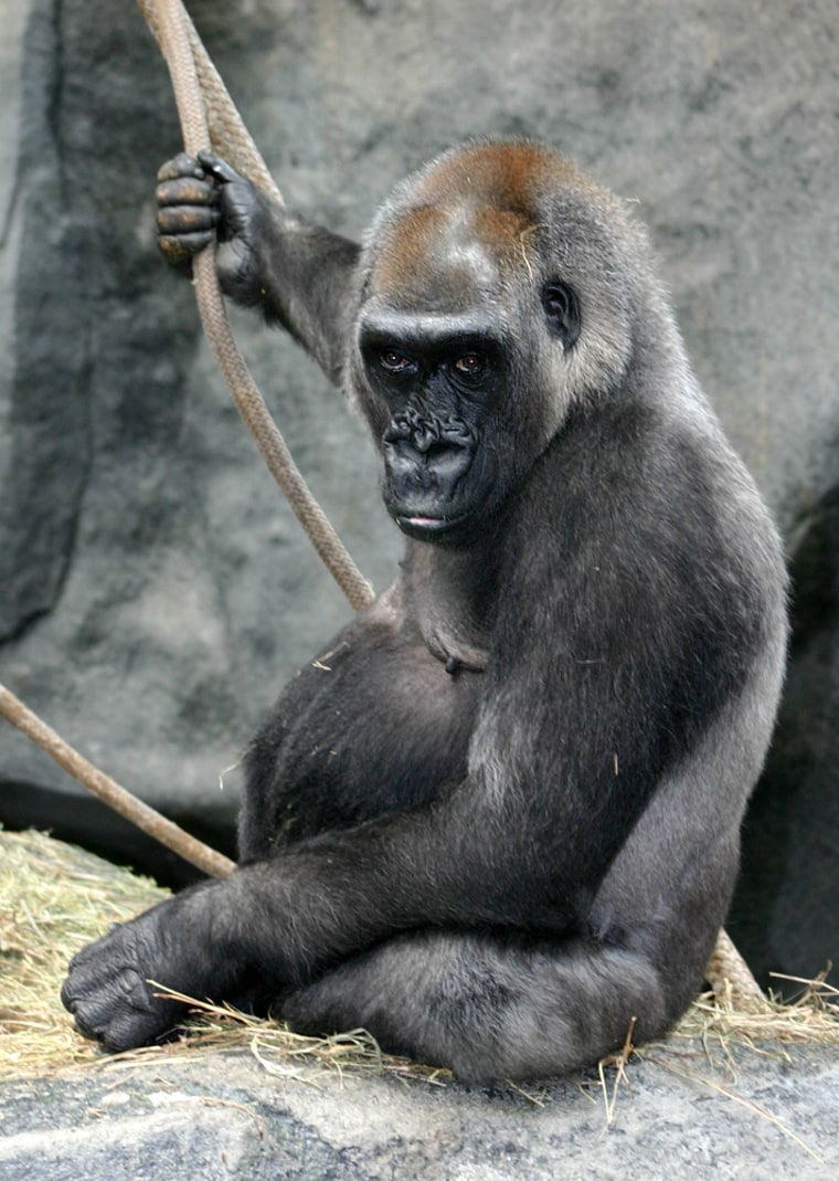 Scientists began studying hormonal changes in gorillas because they wondered whether contraceptives should be administered to olderfemales such as Alpha, shown here. Alpha is a western lowland gorilla atChicago's Brookfield Zoo who was born in 1961.