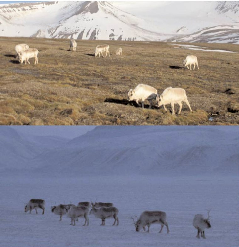 Svalbard reindeer have to put up with unusual light conditions. The top photo was taken at midnight in June; the bottom one was taken at midday in Februrary.