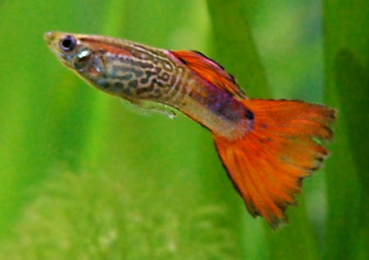 A new study finds that guppies experience menopause just like humans and other animals.