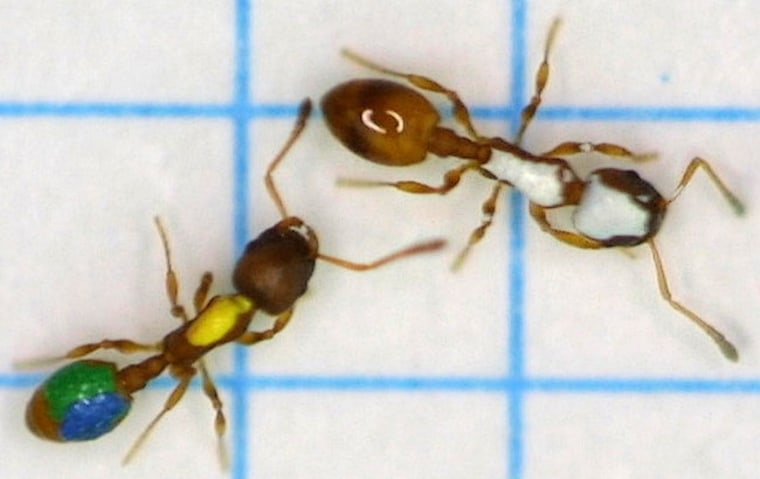 """Worker ants teach others the way to food with a poking and prodding technique called """"tandem running."""" These ants have been daubed with paint for tracking purposes."""