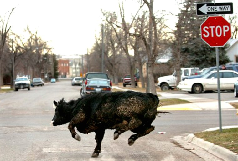 Molly B makes a dash onto 8th Avenue South in Great Falls, Mont., while running from law enforcement officersJan. 5, 2006.