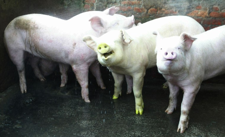 Transgenic fluorescent green pig stands among normal pigs in Taipei