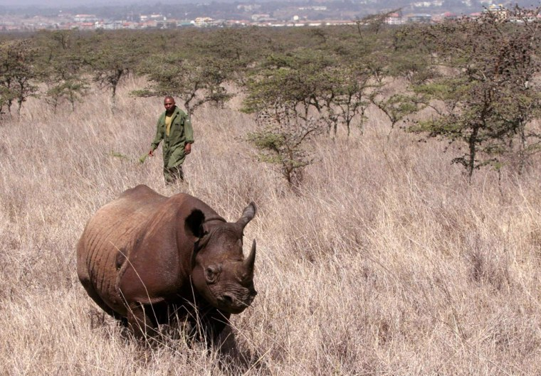 Kenya Wildlife Service warden approaches tranquillised female black rhino for translocation at Nairobi National Park