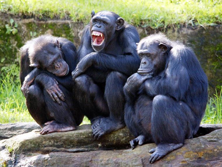 A female chimpanzee (C) yawns as two oth