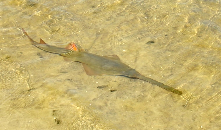 A smalltooth sawfish hugs the sand. The snouts of the endangered species had been traded on eBay.