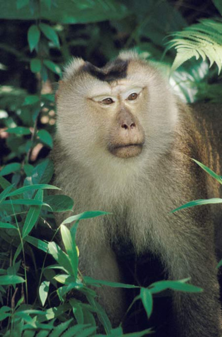 This adult male pigtailed macaque wasphotographed in Thailand. Monkey police usually settle conflicts peacefully, but can dish out a whooping, if need be.