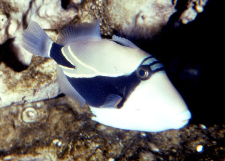In this undated photo provided by the Waikiki Aquarium, a humuhumunukunukuapuaa, also called a triggerfish, is shown.