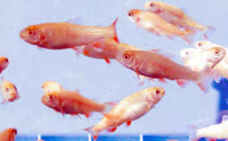 Rainbow trout hatchlings, 8 months old, were produced from spermatogonia stem cells.