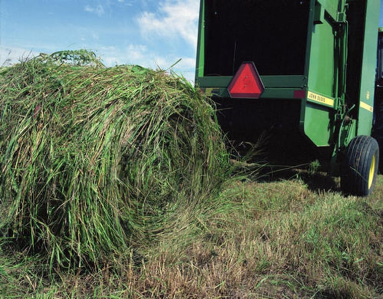 Switchgrass is harvested and baled just like hay – an advantage for farmers who wouldn't have to buy new equipment if the grass becomes an economical way to make ethanol.