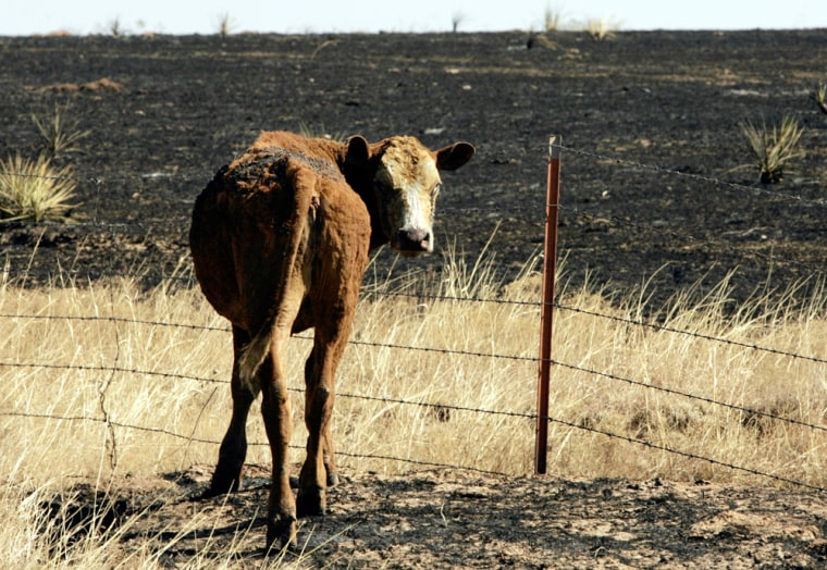 A burned calf stands on grazing land in Roberts County, Texas, on Tuesday after a fire whipped through the area.
