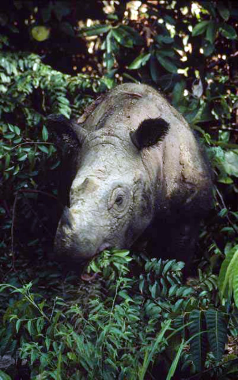 ASumatran rhino munches on leaves in the jungles of Sumatra. The species is hunted by poachers for its horn, which is used in Asian medicines and is virtually worth its weight in gold.