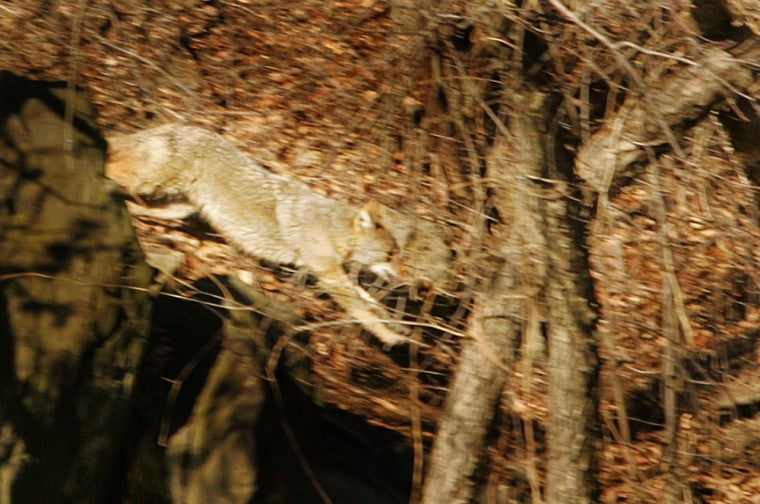 This coyote was chased through New York's Central Park on Tuesday and Wednesday before beingtranquilized by sharpshooters.