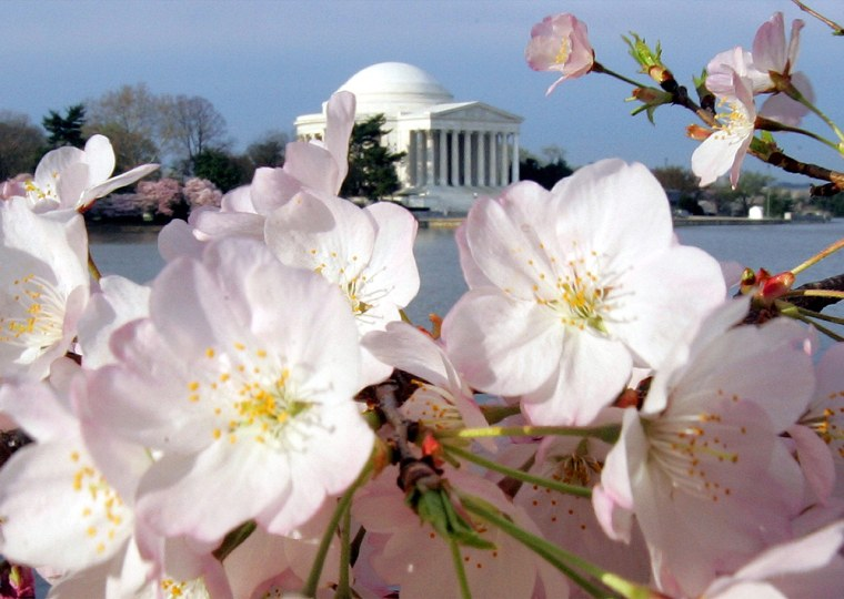 Cherry Blossoms frame the Jefferson Memorial in Washington, April 7, 2005. This year's National Cherry Blossom Festival runs March 25-April 9th.
