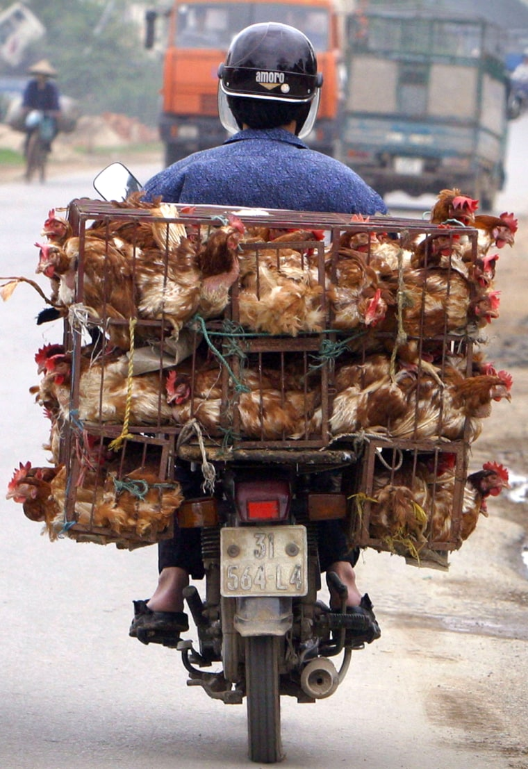 A trader transports chickens on the back of his motorbike on a road near Hanoi, Vietnam. Once the epicenter for bird flu, Vietnam has temporarily stamped out the disease.
