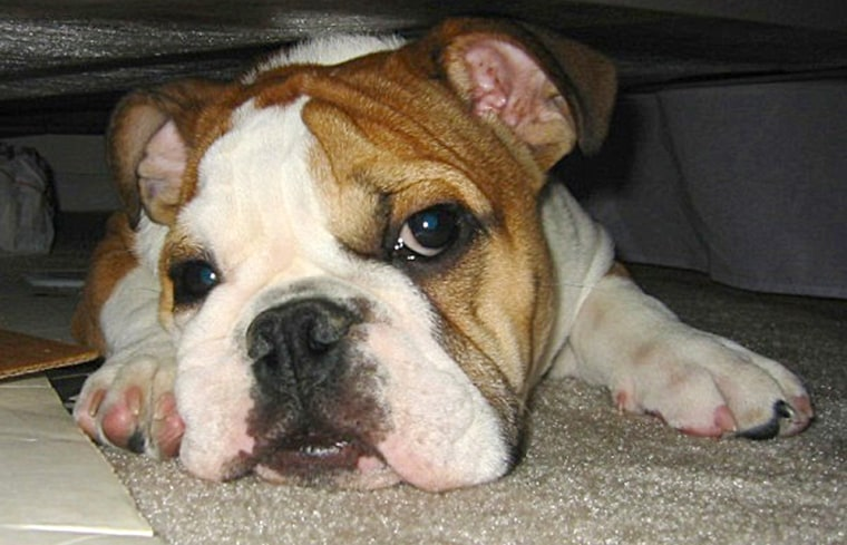 Willie, a two-year-old English bulldog, died following a cross-country flight because airline employees refused to provide a veterinarian and other care after the animal fell ill.