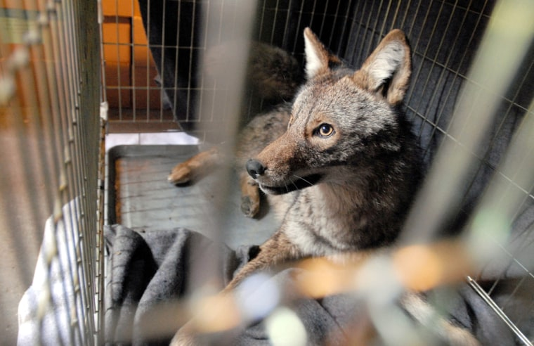 Hal the coyote, seen on March 22, died as he was being tagged to go back in the wild.