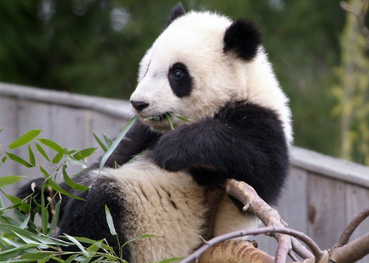 Handout image of eight-month old Giant Panda Tai Shan in Washington