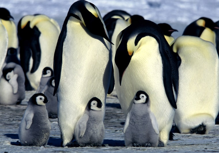 """The hit documentary """"March of the Penguins"""" showed the world the hard lives of Antarctica's emperor penguins. Studies have documented a sharp drop in populations on the Antarctic Peninsula, possibly due to global warming."""