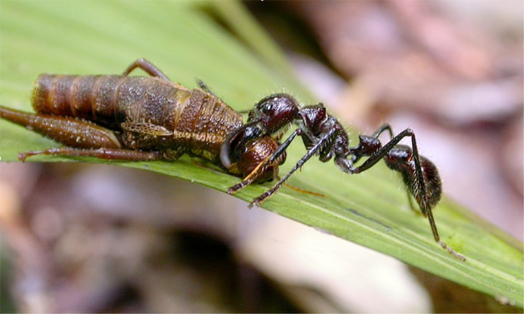 Abullet ant drags its prey along a leaf in Ecuador. DNAstudies indicate that ants began diversifying 100 million years ago, with the rise of flowering plants.