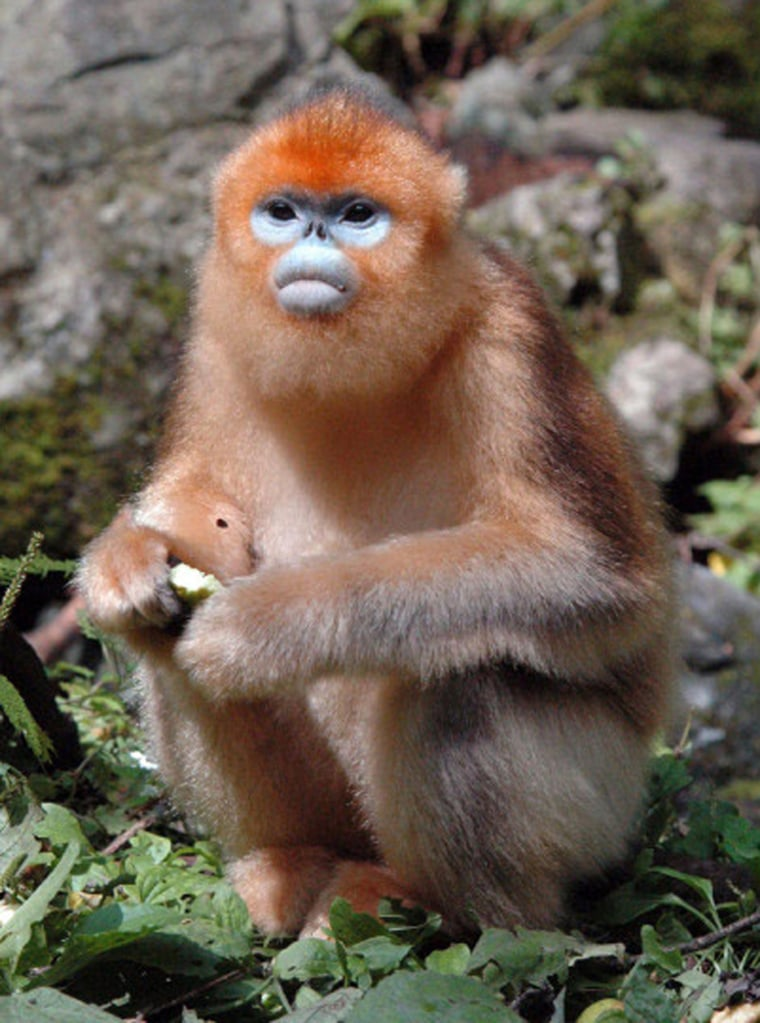 A female Qinling golden monkey, also known as Rhinopithecus roxellana or the snub-nosed monkey, is photographed in China's Zhouzhi Reserve. Once endangered, these monkeys are now thriving.