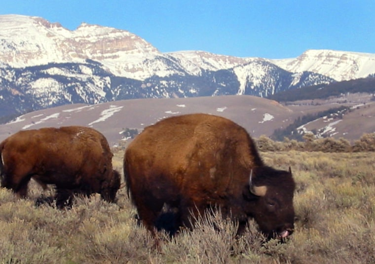 Bison graze in the National Elk Refuge near the Gros Ventre Wilderness Area's Sheep Mountain, seen in the background. Visitors, who flock to the renowned Teton and Yellowstone parks, often overlook the remote Gros Ventre area, which afford visitors equally beautiful, but less traveled paths.