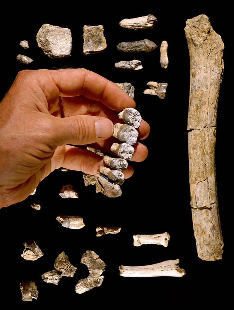 Teeth and bones from the hand, foot and thigh are among the fragments of the Australopithecus anamensis fossil found in the Middle Awash region in northeastern Ethiopia.