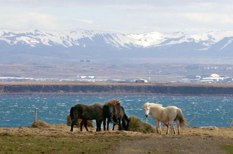 Icelandic horses graze on an overlook of the Hvalfjoerdur Fjord near Akranes, Iceland.