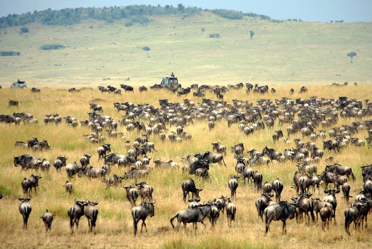 Tourists pass in vehicle between wildebeest herd during annual migration in Kenya's Masai Mara national reserve