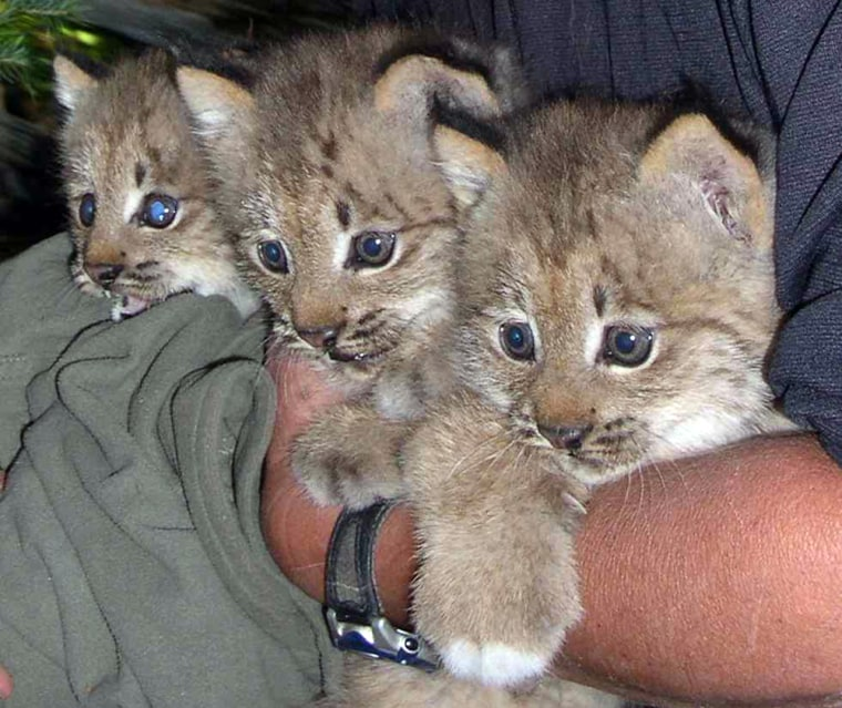 These lynx kittens are among those raised byColorado biologists as part of a program to reestablish the species in the state.
