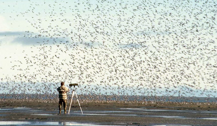 Brian McCaffery, a biologist with the U.S. Fish and Wildlife Service, conducts shore bird research inside the Yukon Delta National Wildlife Refuge in southwest Alaska. The spring migration of birds from Asia to Alaska is expected to start soon, and this year it will encounter a beefed-up federal effort to monitor for bird flu.