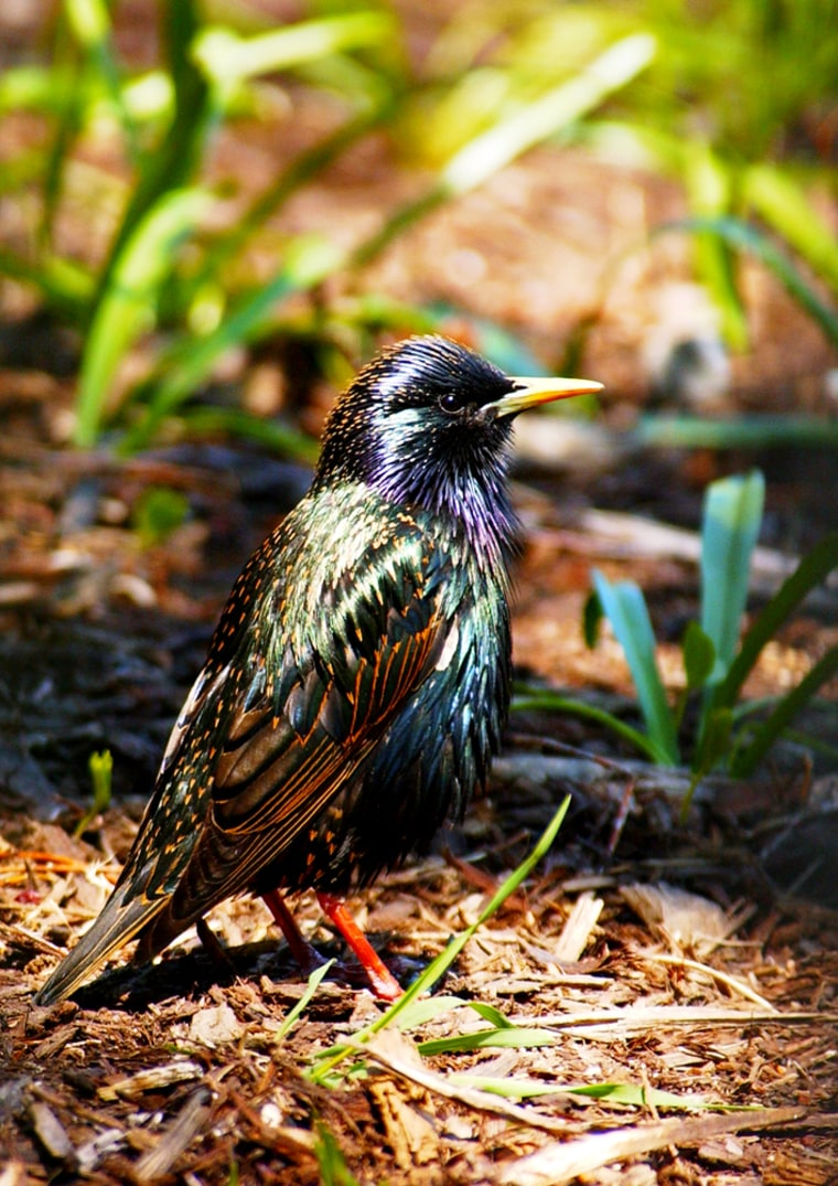 Starlings appear to organize their songs in a pattern analogous to language grammar, scientists report.