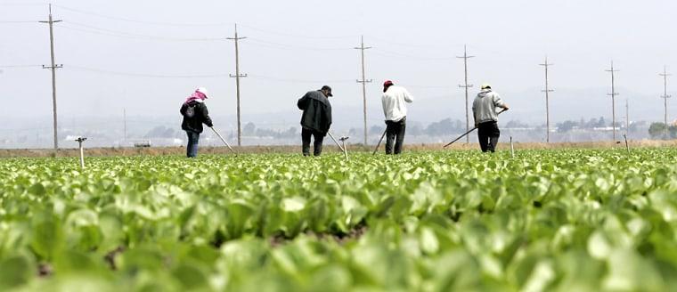 Workers tend to lettuce field near Salinas California