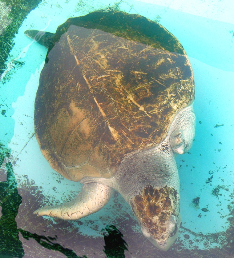 South Padre Island, Texas, is the center of a battle over nesting grounds for Kemp's ridley sea turtles as well as the home of Sea Turtle, Inc., a group whose work includes taking care of this sea turtle, which was mauled by a shark and lost a rear and front flipper.