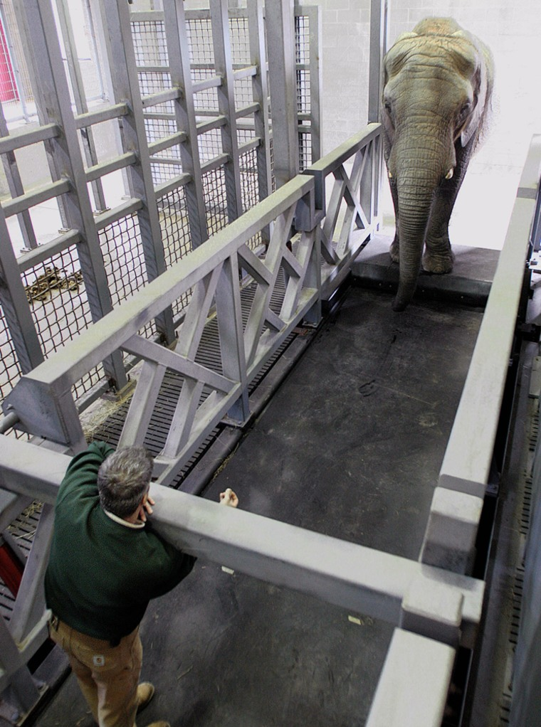 Trainer Rob Smith tries to coax Maggie, the Alaska Zoo's elephant, onto her custom treadmill in a pen at the zoo in Anchorage, Alaska, on Tuesday.