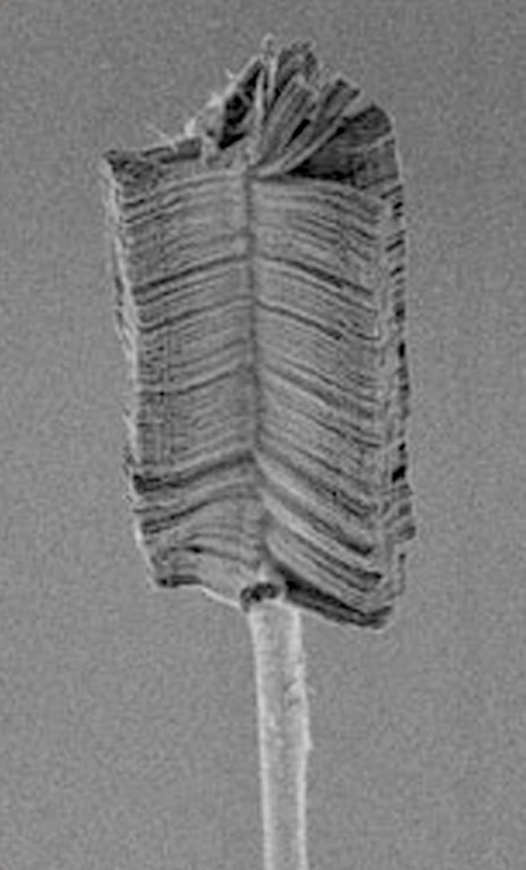 The bristles on the brush shown in this photomicrograph are far finer than strands of human hair. In fact, the length of each bristle is about 60 microns — half of a hair's width.