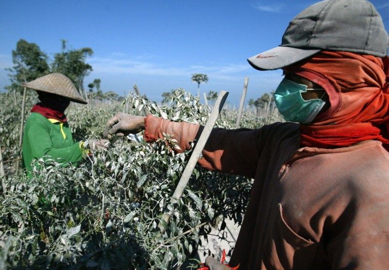 Farmers work as their chilli plants are covered with ash in Gowok Sabrang village