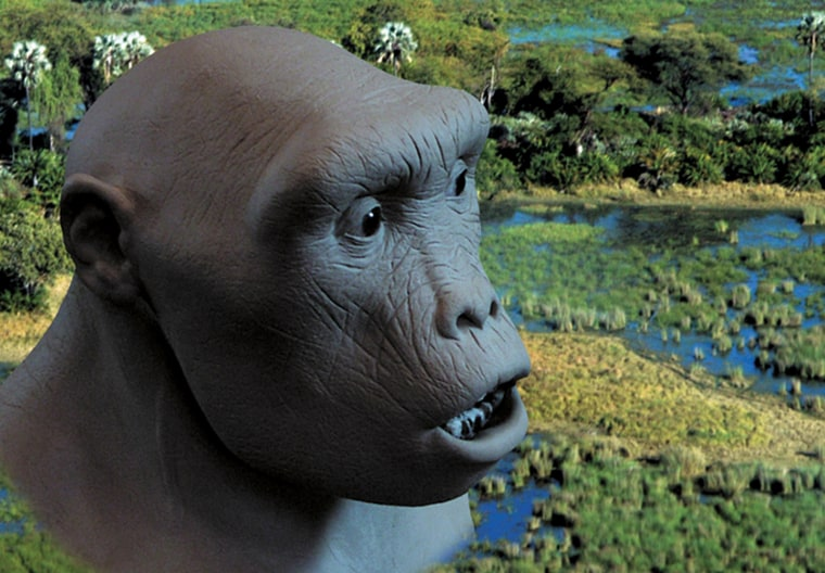 An artist's conception shows what the hominid ancestor known as Toumai might have looked like 7 million years ago. A research team now speculates that Toumai arose before the final species split between the ancestors of humans and chimpanzees.