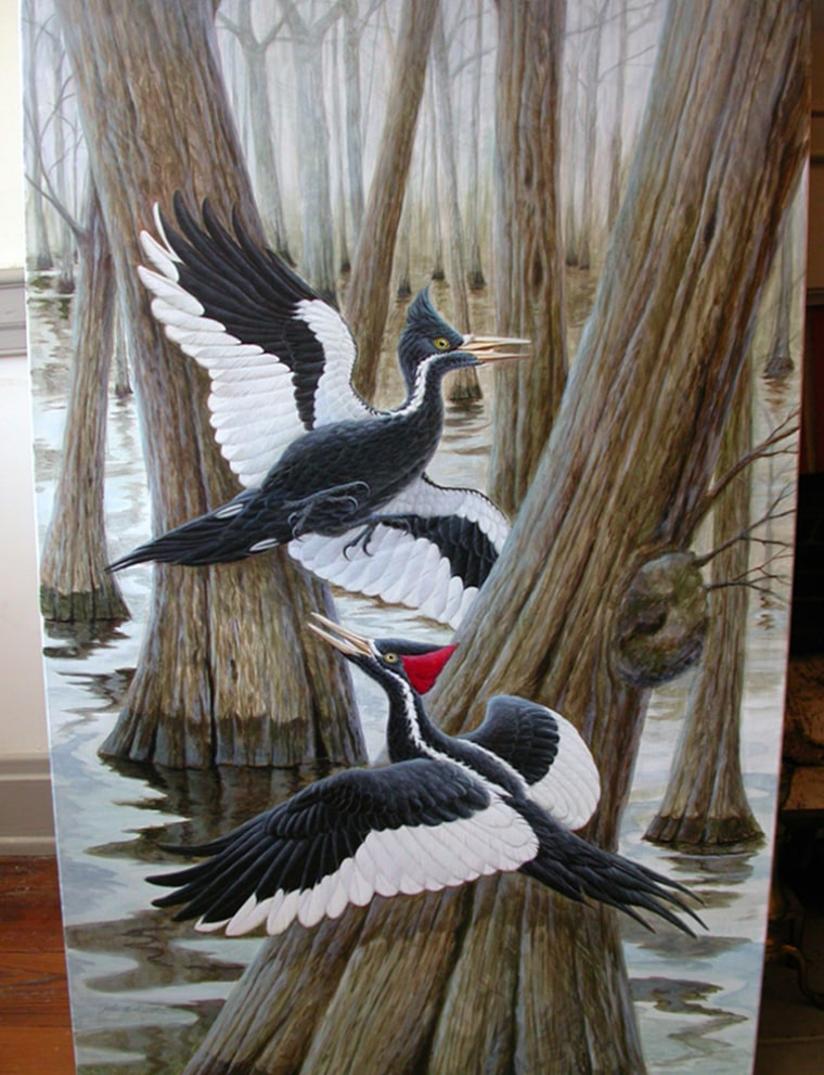 Ivory-billed woodpeckers are shown in an artist rendering provided by the journal Science.