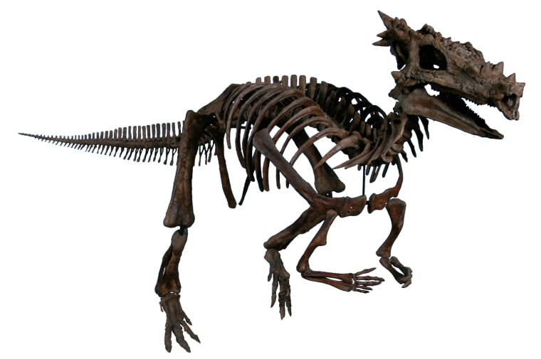 A computer-generated image shows a full skeleton of the newly designated species Dracorex hogwartsia, using the fossil skull as well as other bones from a related member of the pachycephalosaur family.