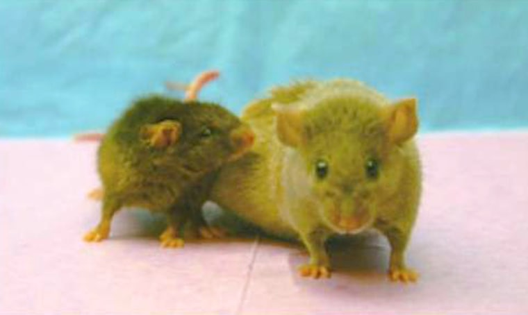 A photo from 2004 shows a small, unusually long-lived mouse, named Yoda, nuzzling against his normal-sized mate, Princess Leia, at right. Yoda, a genetically modified dwarf mouse, lived to be 4 years and 12 days old — roughly the equivalent of a 136-year-old human. Scientists say longevity research could make 100-year-plus life spans routine, but introduce new social challenges as well.