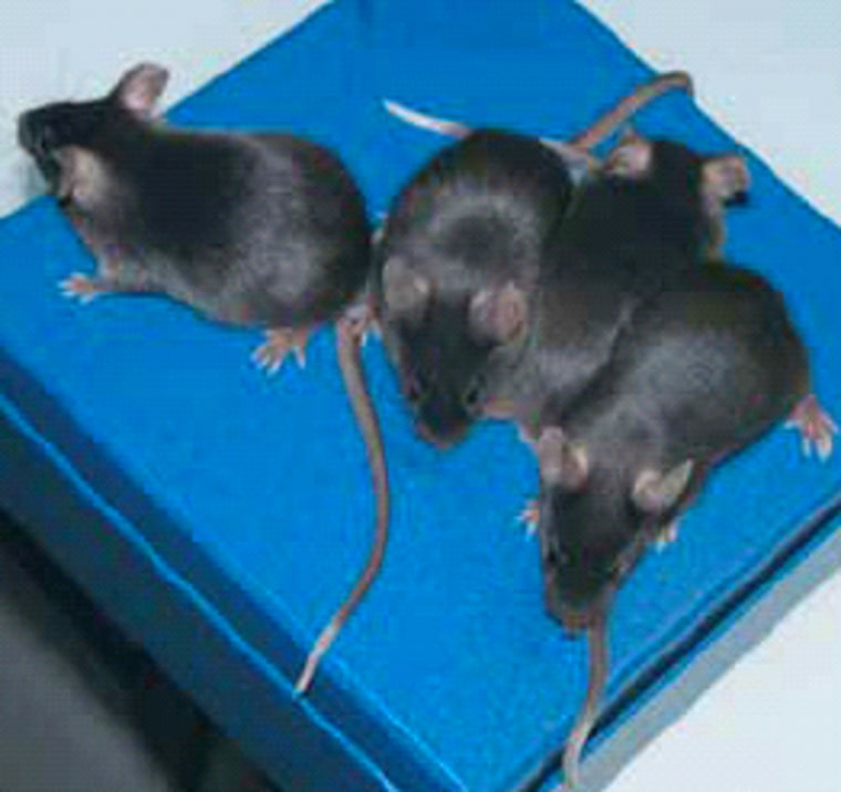 These white-tailed mice are the progeny of a normal mother and a father that apparently received its own white-tailed coloration through an RNA injection. The experiment demonstrated that snippets of RNA can play a role in transmitting the effect of a gene.