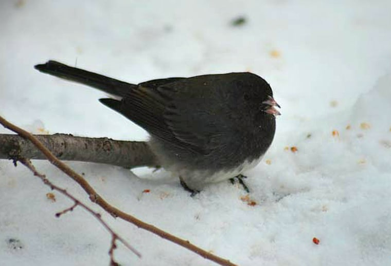Male dark-eyed juncos sing more sweetly and are more attractive to females if they get a boost of testosterone. But they leave the parenting to males withless of the hormone, researchers say.