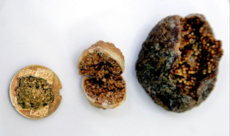 An ancient fig, at far left, is covered withgold in preparation for electron microscope photography. It is similar in size to an Iranian commercial fig, in the middle. These are much smaller figs than a common variety of Turkish fig, shown on theright.
