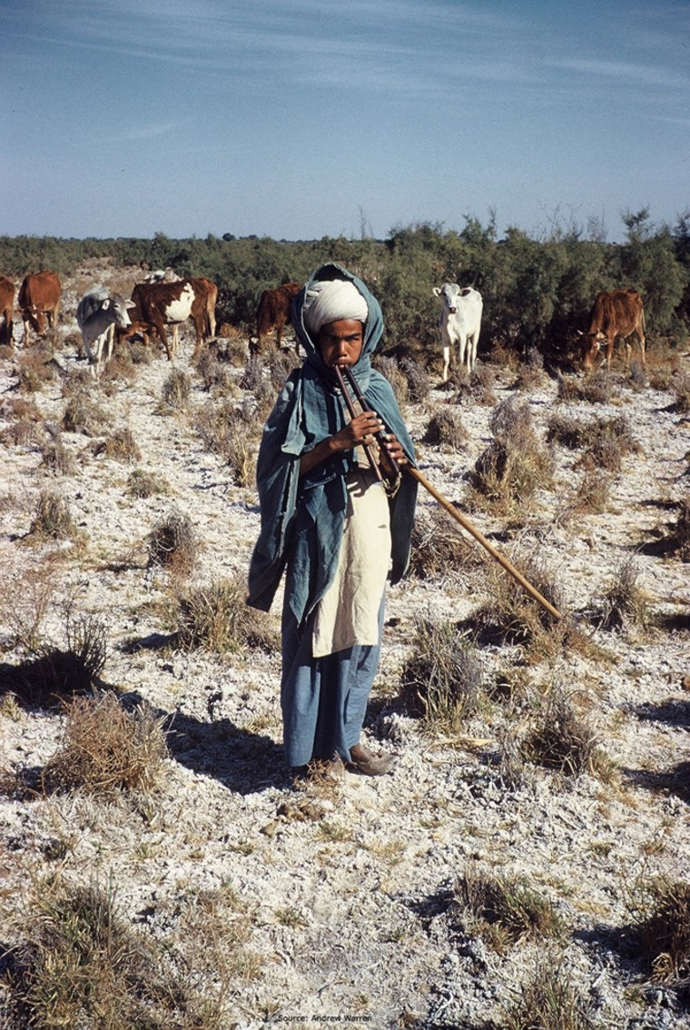 An Indianboy tends his cows on what once was a rice field but is now just barely pasture due to salt buildup in the soil.