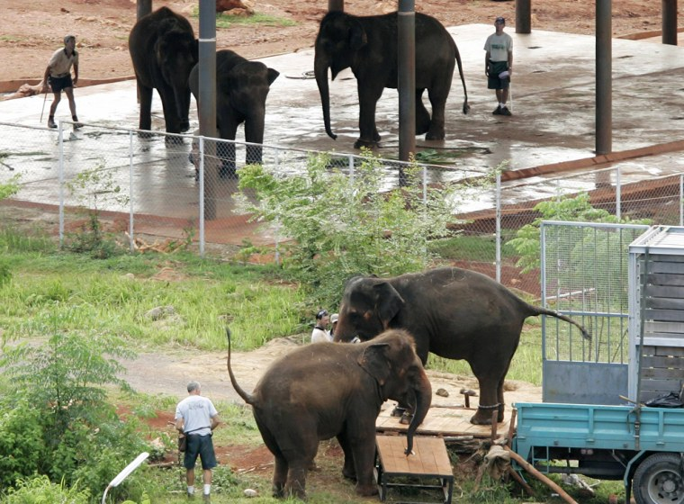 Trucks carrying eight elephants return to the animal quarantine site in the western Thai province of Kanchanaburi