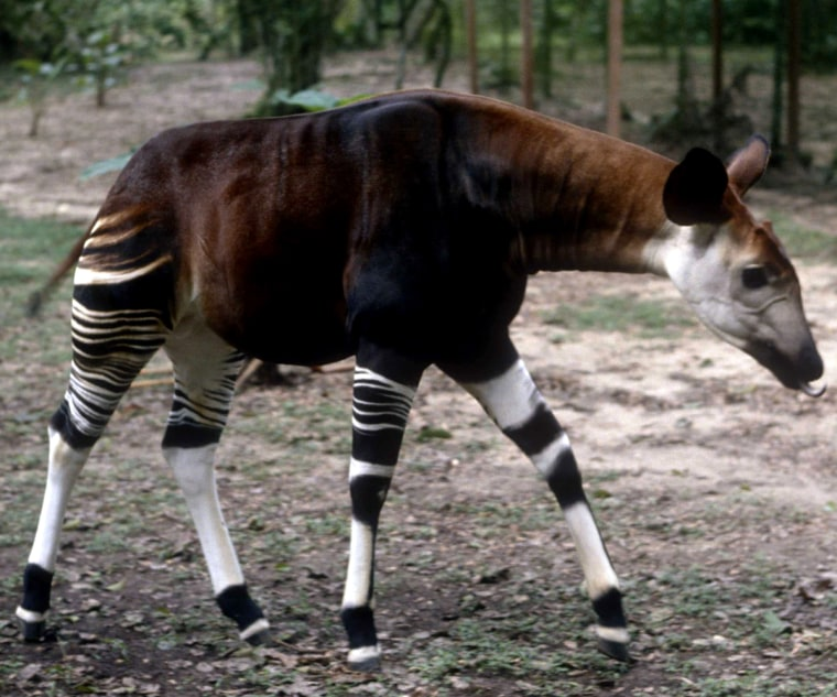 Okapi walks through forest in eastern Democratic Republic of Congo in this undated handout picture