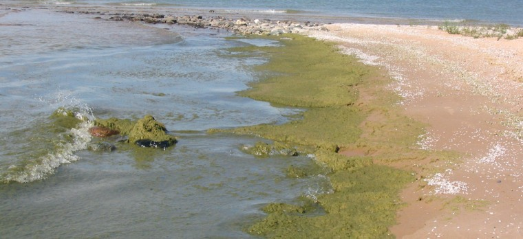 Algae blooms like this one are becoming more common on the Great Lakes.
