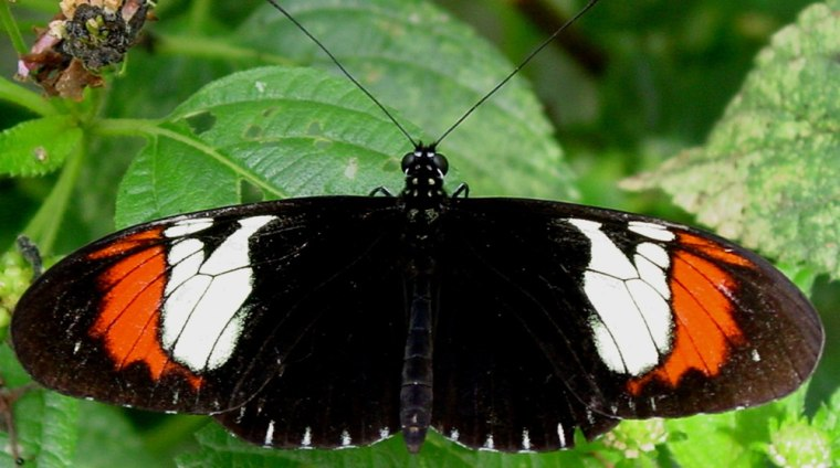 This live specimen of the hybrid butterfly H. heurippawas created by mating two other species, H. cydno and H. melpomene.