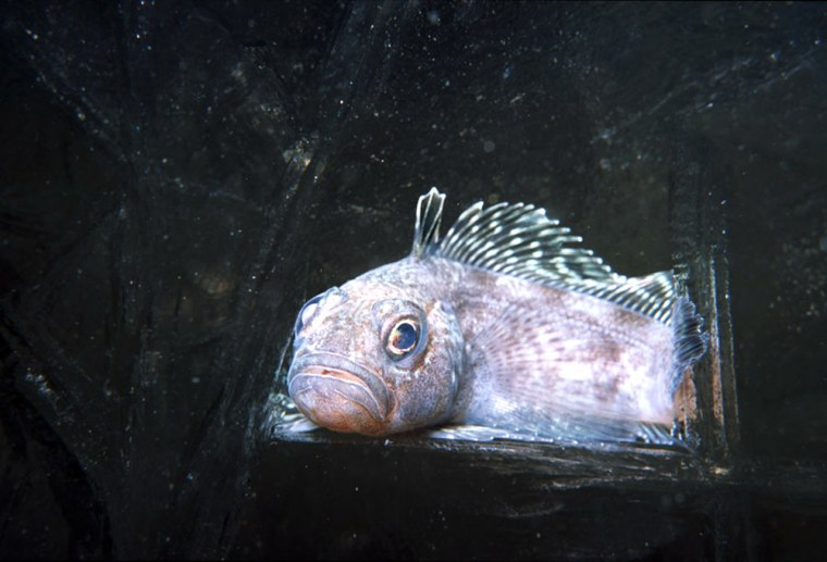 Antarctic notothenioid fish survive freezing waters by producing natural antifreeze proteins in the pancreas.
