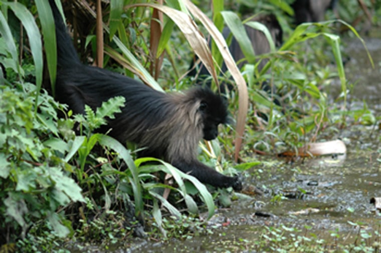 A gray-cheeked mangabey feeds on water plants at the edge of a pond in Uganda's Kibale National Park.